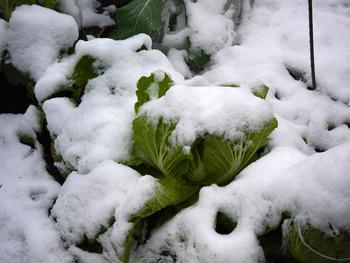 ミニ菜園白菜雪で・・・