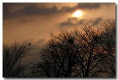 朝日が昇り・・・桜の木にカラスの巣