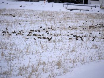 田んぼにたくさんのスズメ