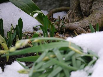 庭のスノードロップ