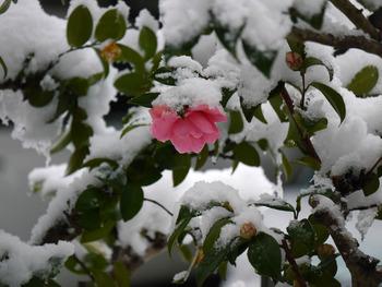 庭の笑顔サザンカ一輪咲く