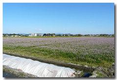 レンゲ畑・・・綺麗〜〜。