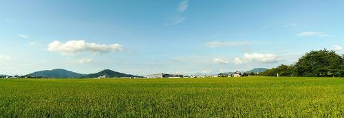 自宅前の田んぼの稲が成長