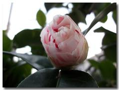庭の椿(いわねしぼり)蕾