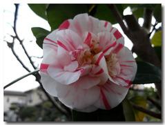 椿(いわねしぼり)が咲いた。