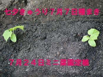 七夕きゅり7月24日定植