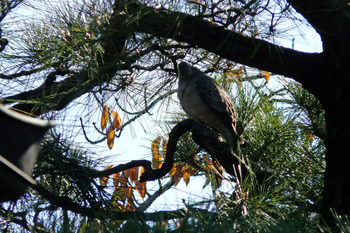 松の木に止っていた鳥解りません!!