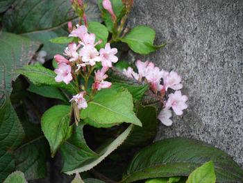 タナウズキの花NO2