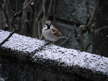 スズメ1羽少し雪が降って