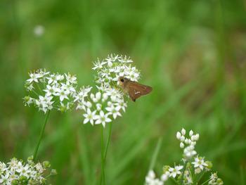 ニラの花とイチモンジセセリ目が可愛い