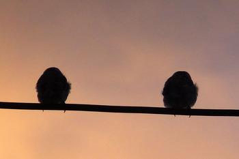 朝焼けの中2羽スズメ
