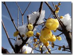 雪の中満月蝋梅と青空