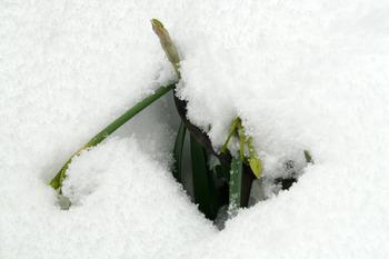 庭の水仙雪の中・・・