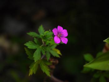 ゲンノショウコ (ピンク色の花)