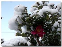 山茶花も雪の中