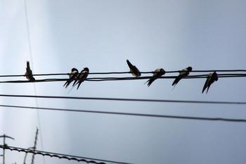 ツバメが電線に7羽