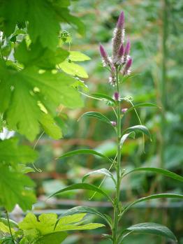 ノゲイトウの花
