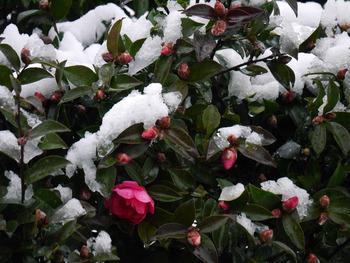 初雪とさざんか