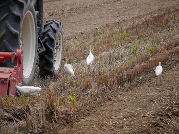 トラクターのタイヤに近づくアマサギ