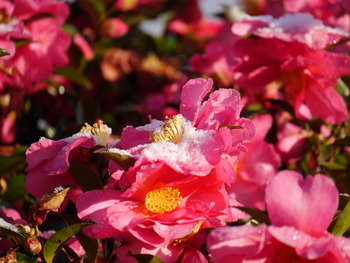 サザンカの花に雪が・・・