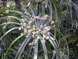 パピルス花