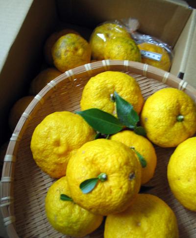 高知の柚子 冬至