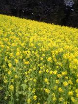 浜離宮菜の花.jpg