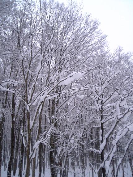 秋田ぶなの樹林.jpg