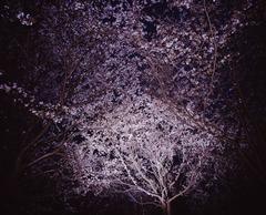 20130331 横浜国際プールの桜