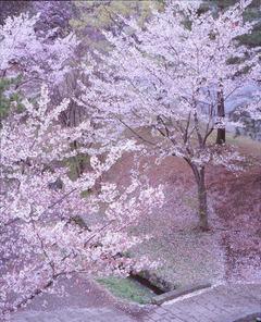 20130331 桜小路