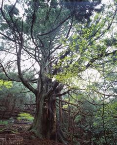 シラヌタの杉 全景