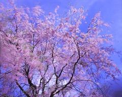 高遠芝平の山桜