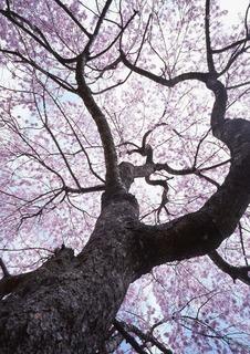 都賀しだれ桜2