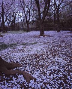 20130331 桜絨毯