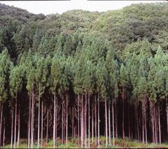 村上市郊外 樹木