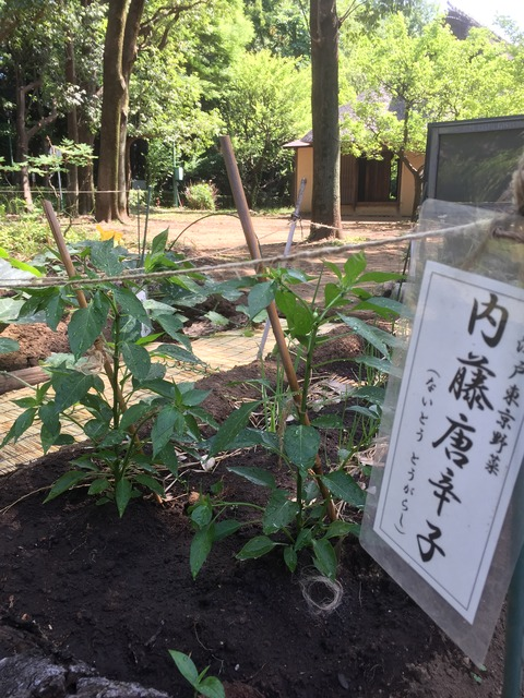 内藤トウガラシ2017.6.3