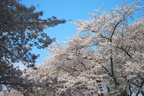 上野公園桜