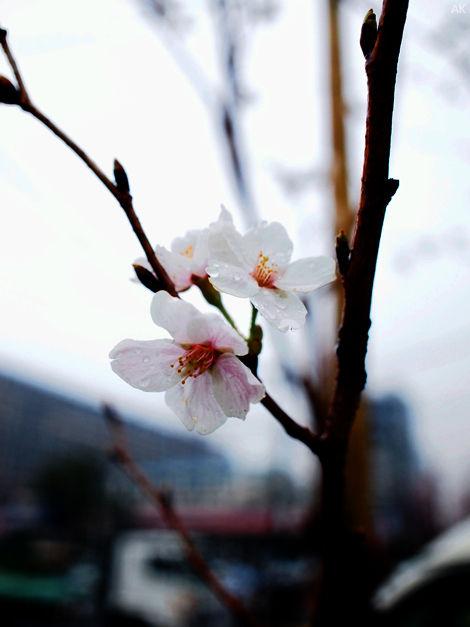 130327桜雨
