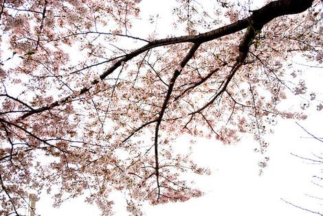 桜枝2011
