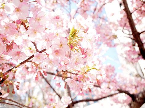 2013河津桜