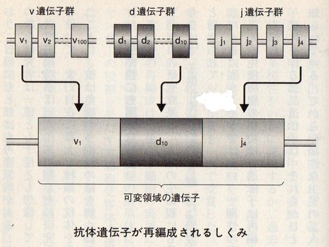 V(D)J遺伝子再構成とは - goo Wikipedia (ウィキペ …