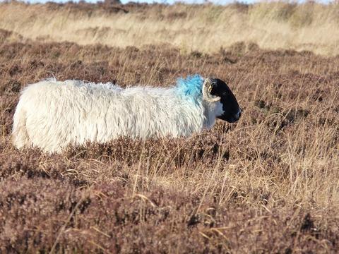 sheep-193821_960_720