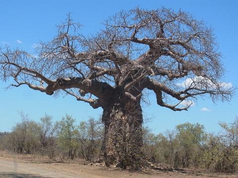 baobab-955876_960_720