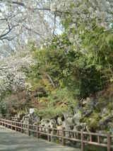 はけ下の桜