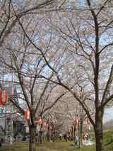 多摩川沿い桜並木2