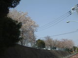 啓明学園桜1