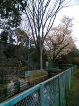 成小下の桜