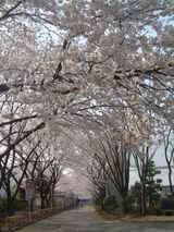 拝島高校桜2