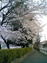 光華小桜1
