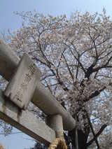 稲荷神社桜